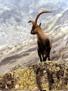 Cabra montés Gredos