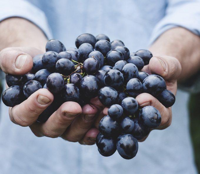 racimo de uvas recién recogidas en vendimia