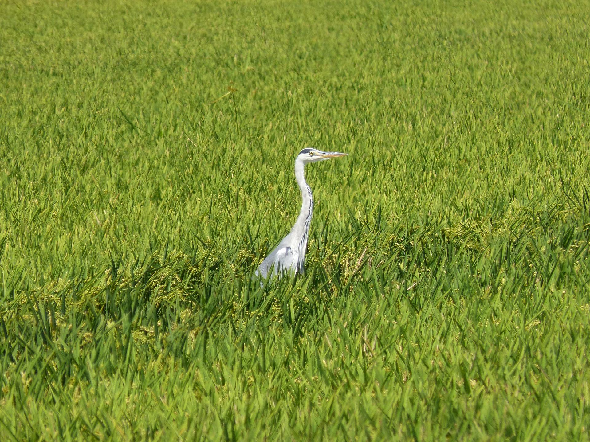 Martín pescador entre arrozales del Delta del Ebro