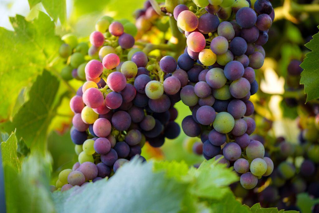 Envero, coloración de uvas en viñedo