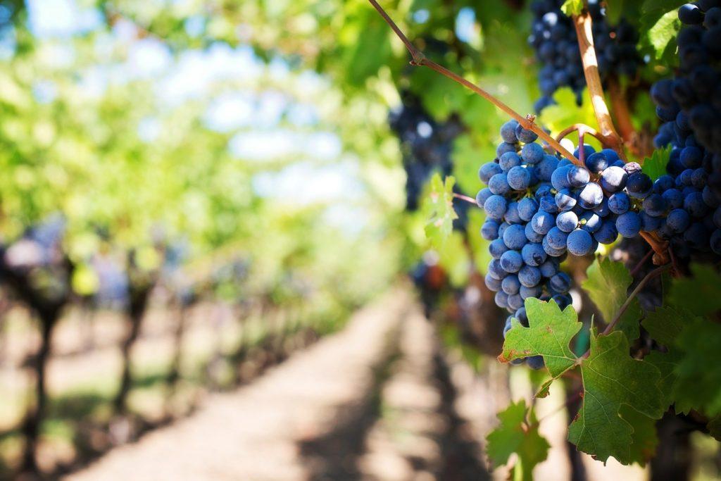 viñedos de bodegas de vino
